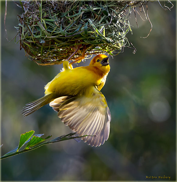 African Weaver Finch (Ploceus pelzelni)