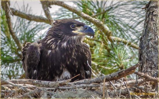 9 - Fledgling Bald Eagle