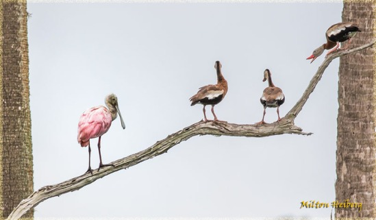 3. Resident Birds: Spoonbill and Whistling Ducks