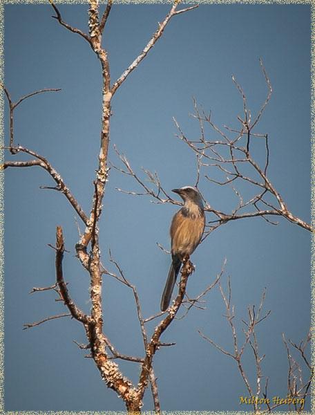 2. Florida Scrub Jay