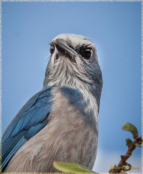 4. Florida Scrub Jay
