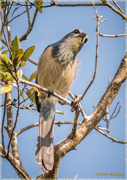 3. Florida Scrub Jay
