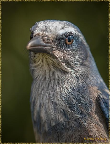 5. Florida Scrub Jay