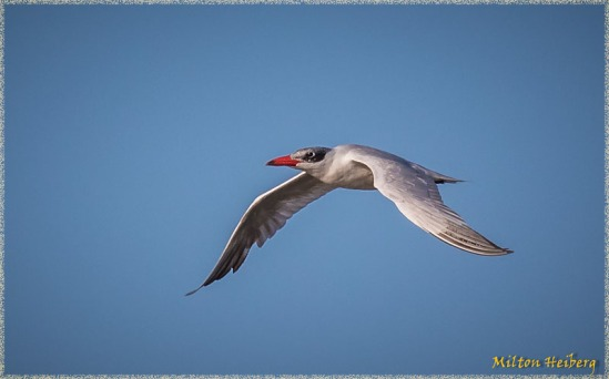 10. Royal Tern