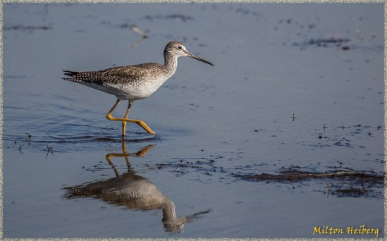 8. Yellowlegs