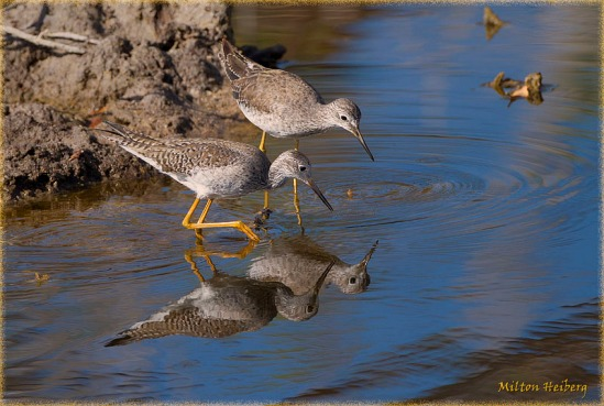 Yellowlegs at Eco Pond