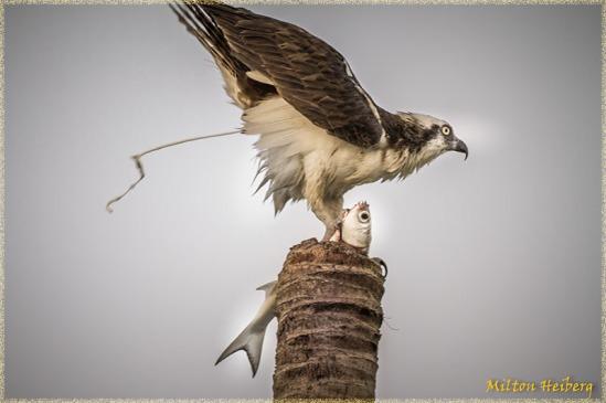 Osprey Poopshot