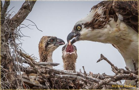 Osprey Feeding Young