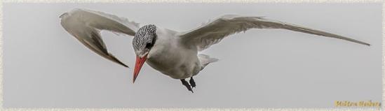 Foster's Tern 2