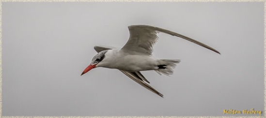 Foster's Tern 1