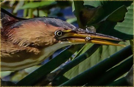 Green Heron Detail