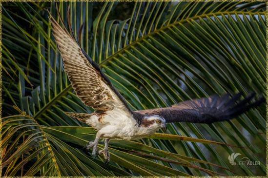 Osprey - by Lee Adler