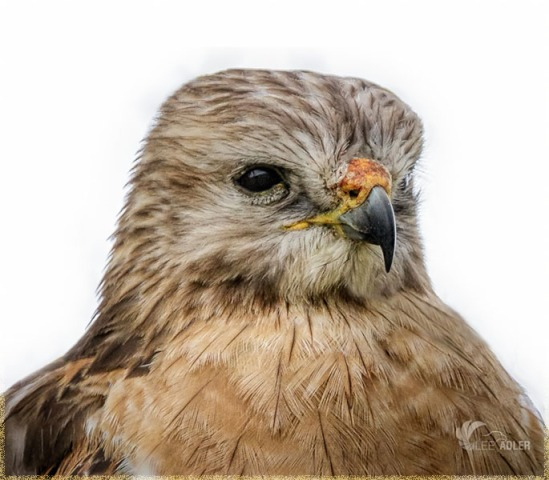 Red Shouldered Hawk - by Lee-Adler