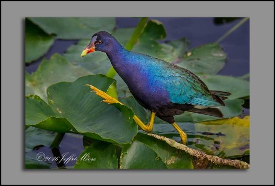 Purple Gallinule by Jeffri Moore